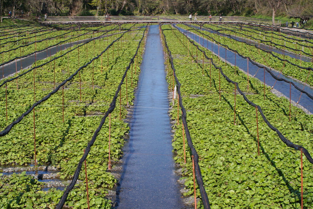 Daio Wasabi Farm - Rows of Wasabia Japonica planted into gravel beds that are slightly raised while water flows in channels around the plants.