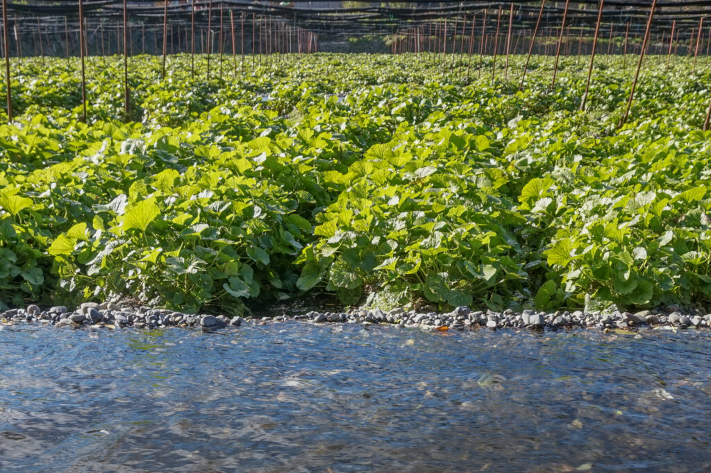 Daio Wasabi Farm - A channel of flowing spring water in the foreground with rows of wasabi plants in gravel beds in the background.